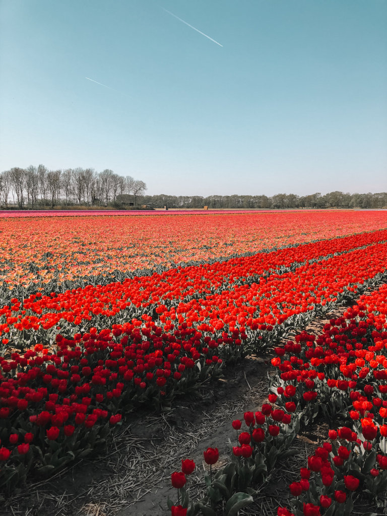 Rows of tulips in Amsterdam in April