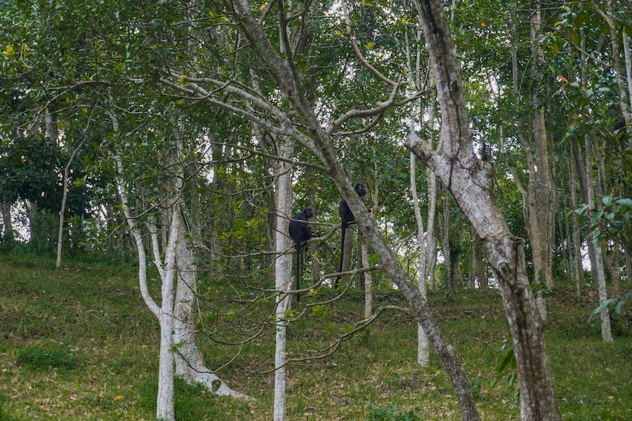 Black monkeys sitting in trees