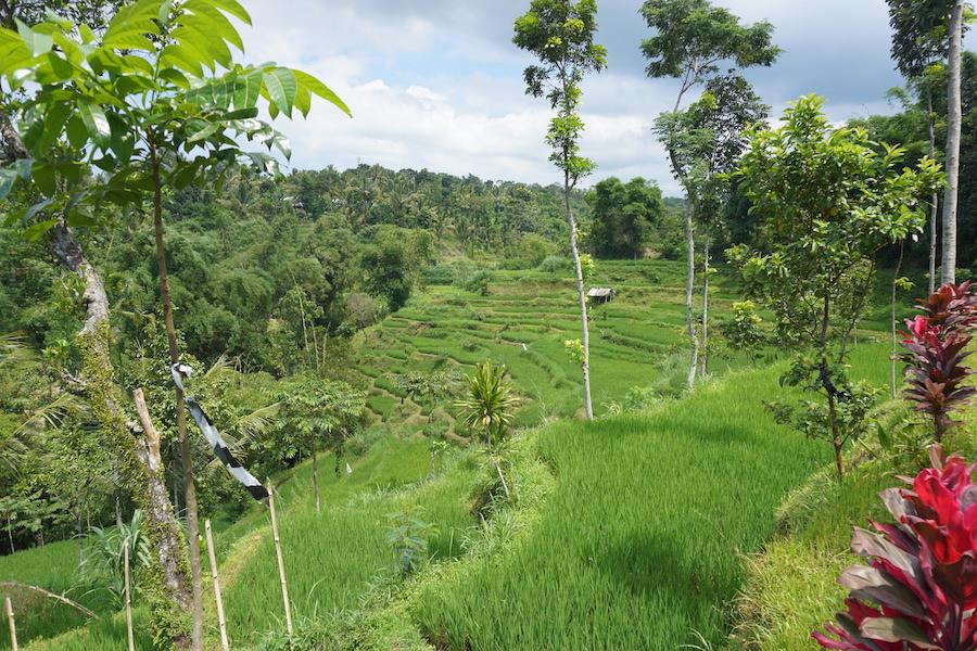 Rolling rice terraces in Tetebatu