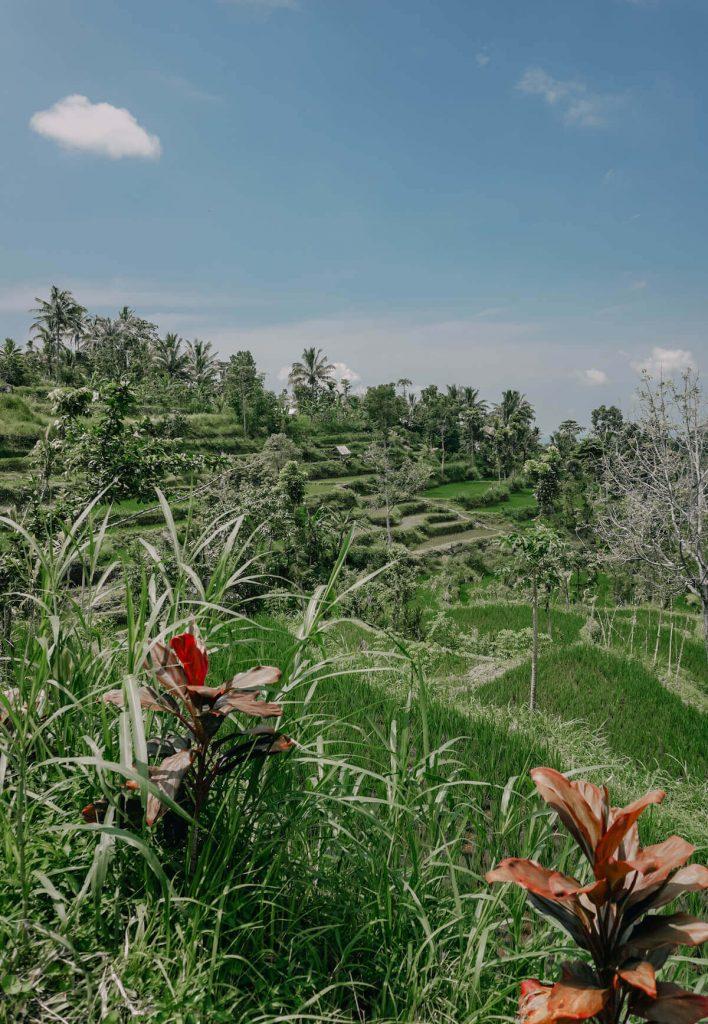 Lombok rice fields