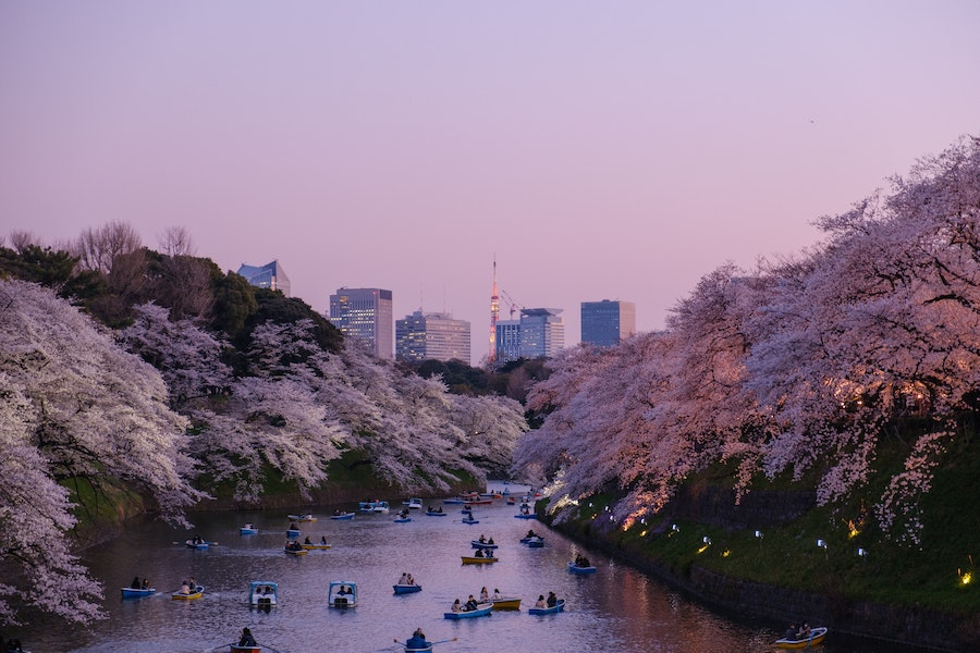 Cherry blossoms on bloom along a river