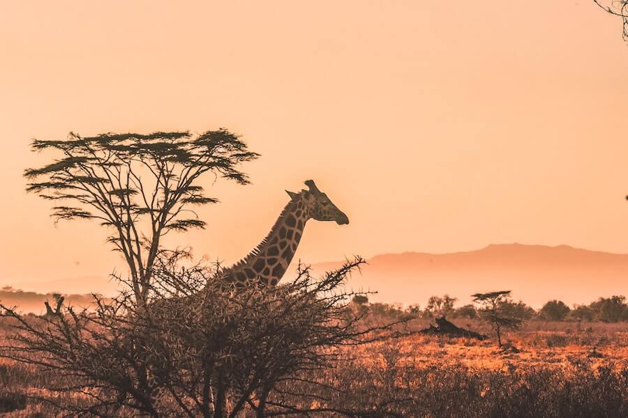 Giraffes in a Safari in Africa