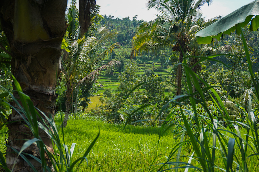 Tetebatu Rice Terraces