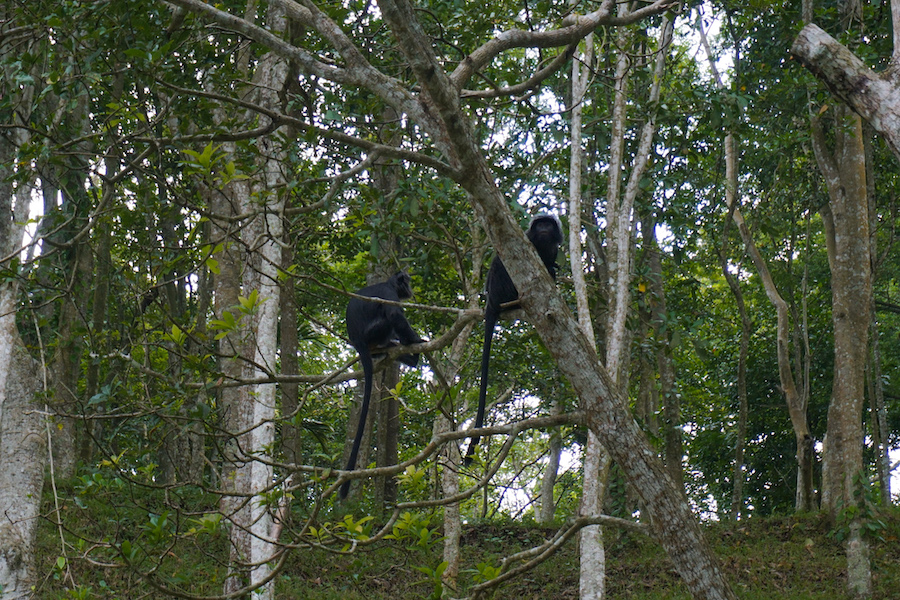 Black Monkey Forest