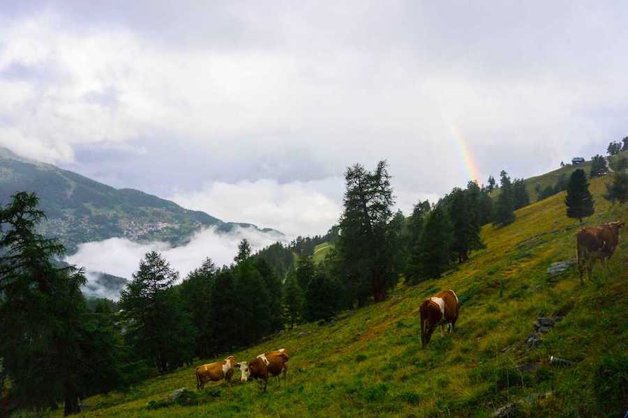 Cows on a mountain side