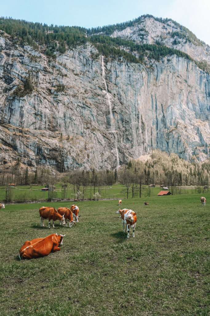 Cows grazing and a huge cliff with a waterfall in the distance
