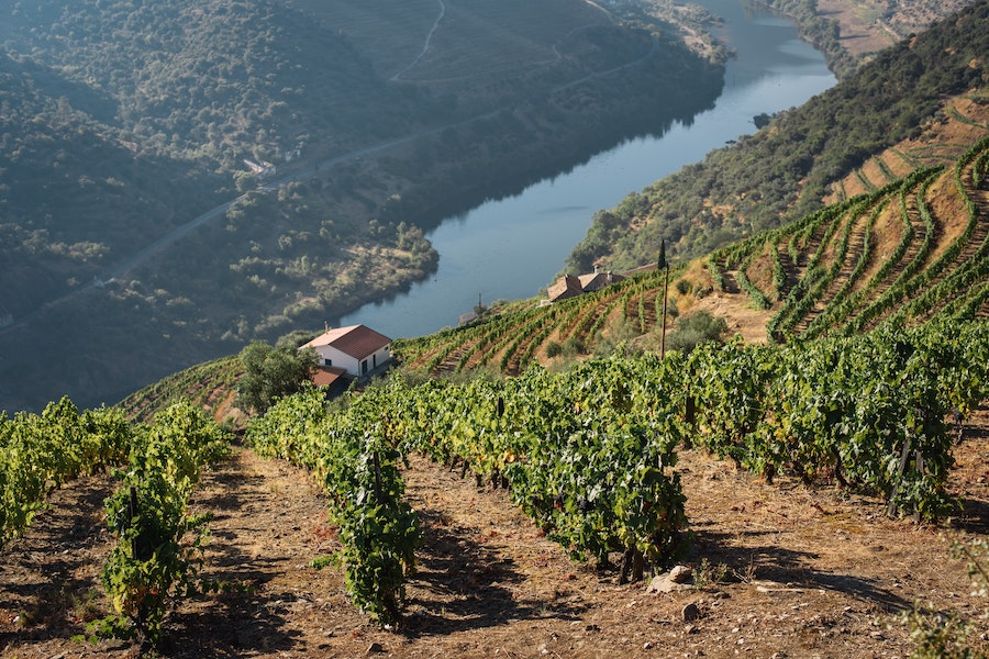 Hill covered with grape trees